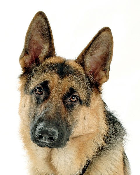 Pedigree Purebred GSD for Sale in Chicago: How to Tell a Purebred German Shepherd Puppy