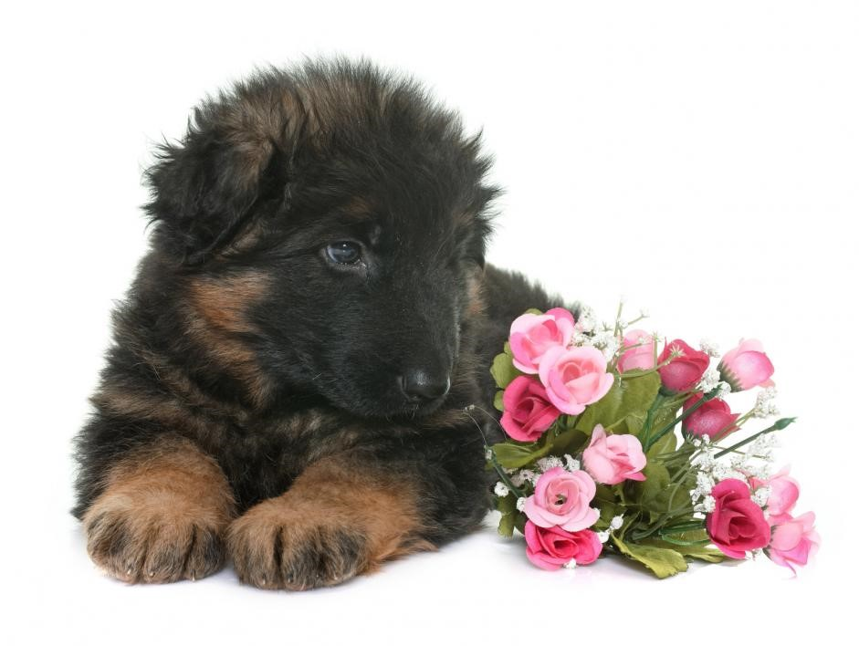 Pure German Shepherd Puppies: Facts That Will Make You Adopt/Buy One