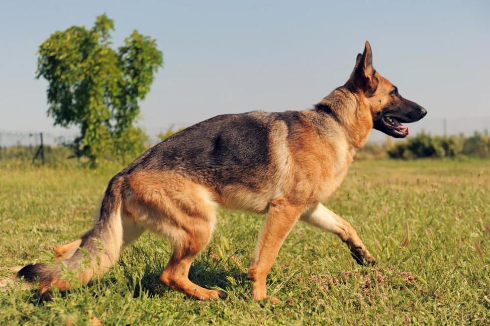 Canine Degenerative Myelopathy: Information on the German Shepherd
