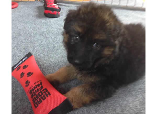 German-Shepherd-Long-Hair-Puppy-For-Sale-0722215