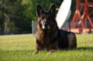 German Shepherd Dog Rememberance Leo