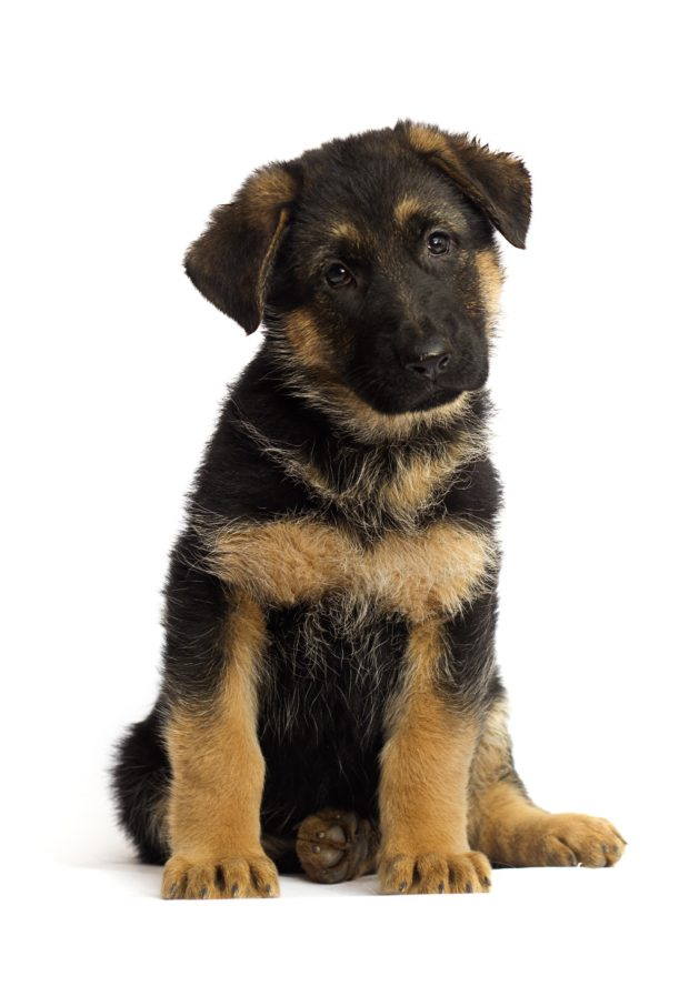 How Long Should-You Wait to Spay or Neuter Your German Shepherd Puppy