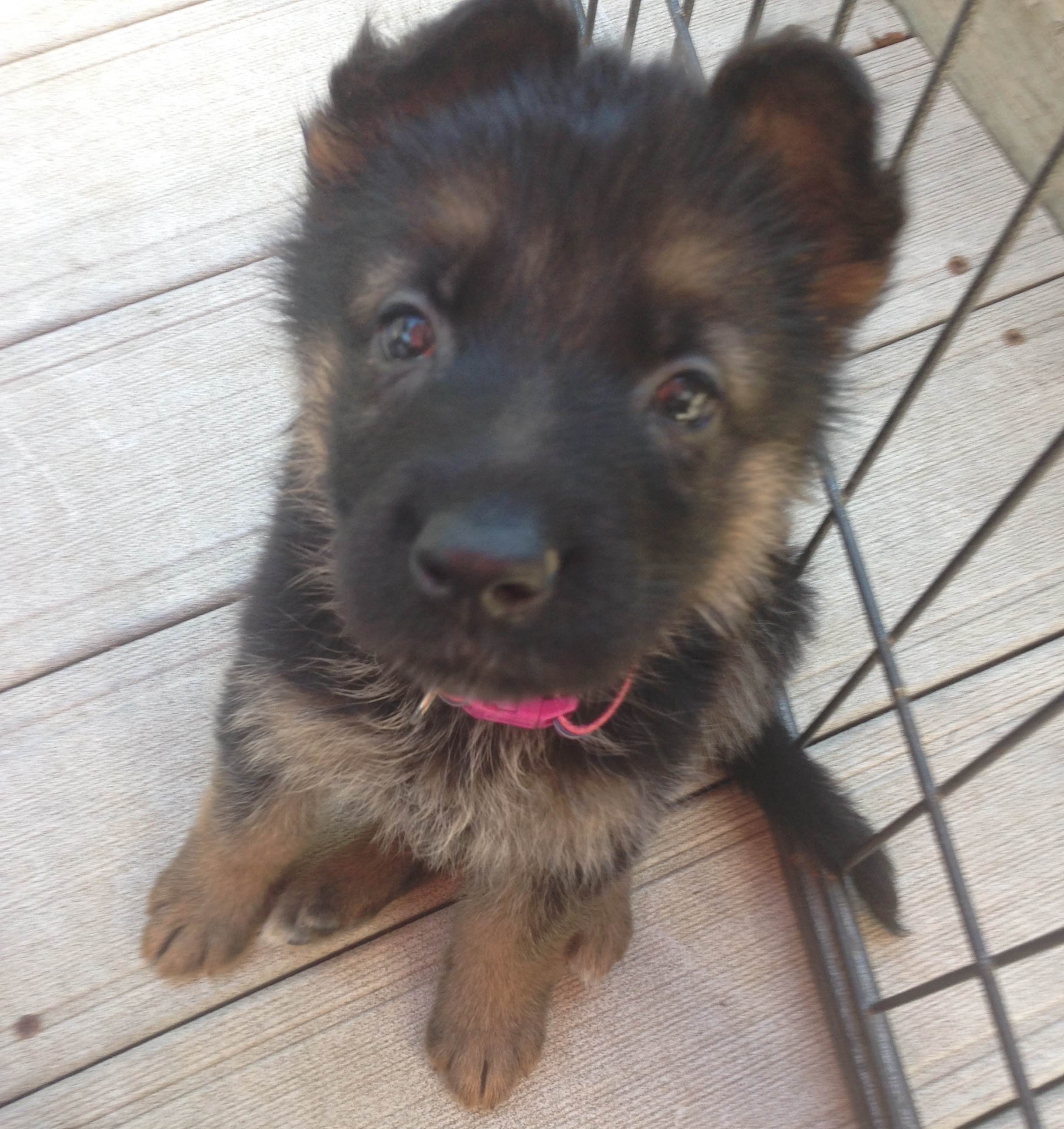 German Shepherd Puppies for Sale in East Troy, Wisconsin,  90 minutes North of Chicago, Illinois.