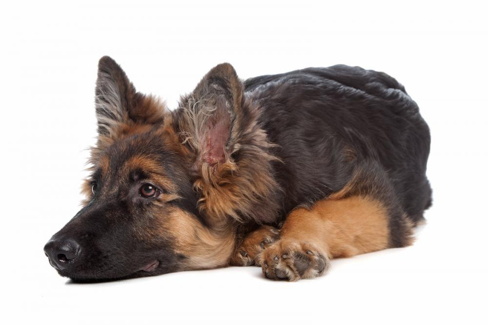 Purebred GSD For Sale – Why purchase a German Shepherd Puppy?