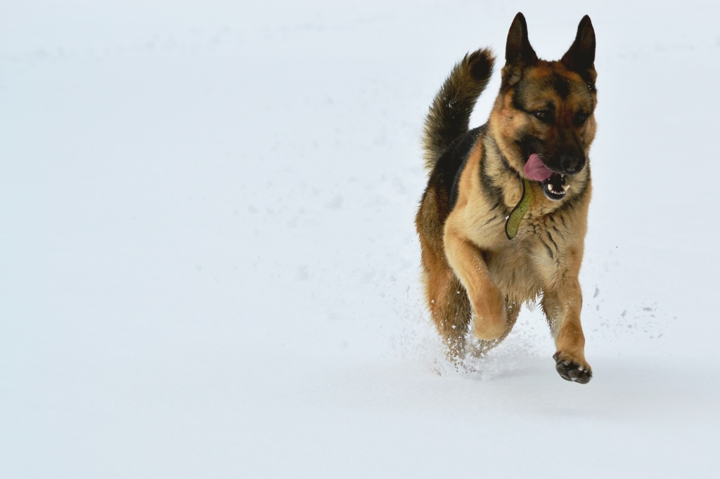 Learning the Basics: From Buying a GSD Pup to Bringing Up a Lively Adult