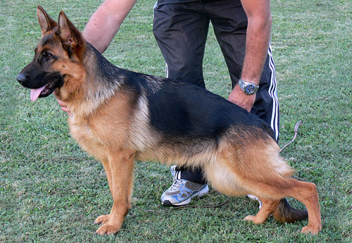 Black and Red German Shepherd Puppies, German Shepherd Breeders, German Shepherd Police Dog Puppies, German Shepherd Breeding Female,German Shepherd Long Hair Puppies, German Shepherd Puppies
