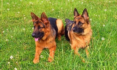 Salsa's Puppies at 6 Months