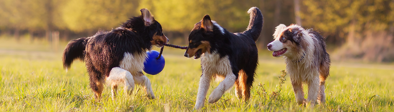 aussie pups