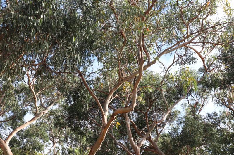 Great Ocean Road Koalas