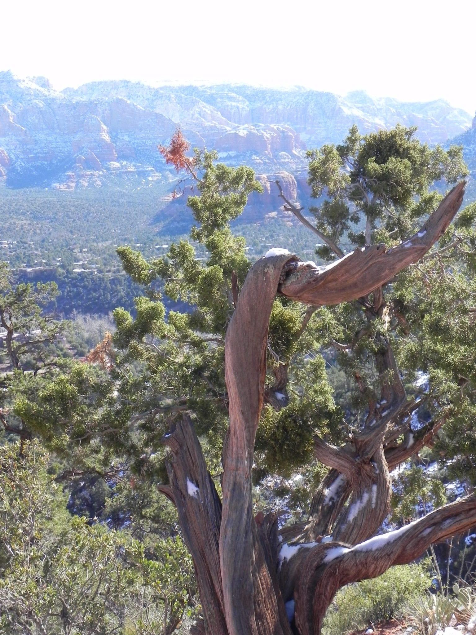 Sedona Vortex Twisted Tree at Airport Mesa Vortex