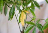 Daun tanaman menguning
