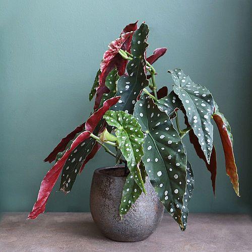 Ciri-ciri dan Harga Begonia Maculata Polkadot