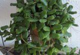 Ciri-ciri dan Harga Hoya Rotundiflora