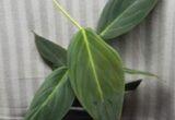 Ciri-ciri dan Harga Philodendron Gigas