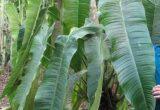 Ciri-ciri dan Harga Philodendron Sharoniae
