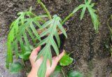 Ciri-ciri dan harga Philodendron Elegans