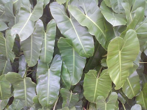 Harga Philodendron Imbe
