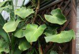 Harga Philodendron Rugosum
