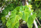 harga Philodendron Giganteum
