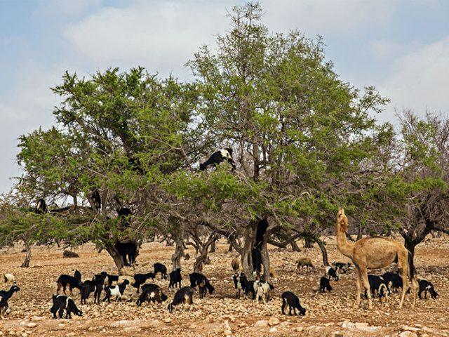 Argan: Morocco's tree of life