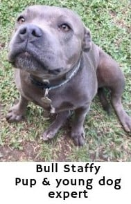 Bull Staffy - Expert on dog and puppy health