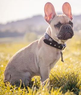 Thick leather dog collar - dogspeaking.com