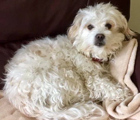 Little Malt sleeping on chair - Dogspeaking