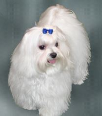 The Maltese is number 8 on the list of best dogs for first time owner