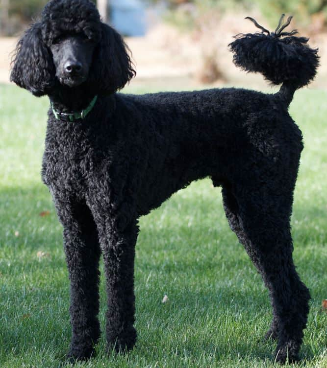 The poodle #9 on best dogs for first time owners