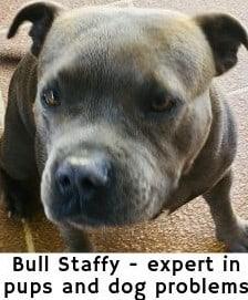 Bull Staffy - dog nail clipper expert