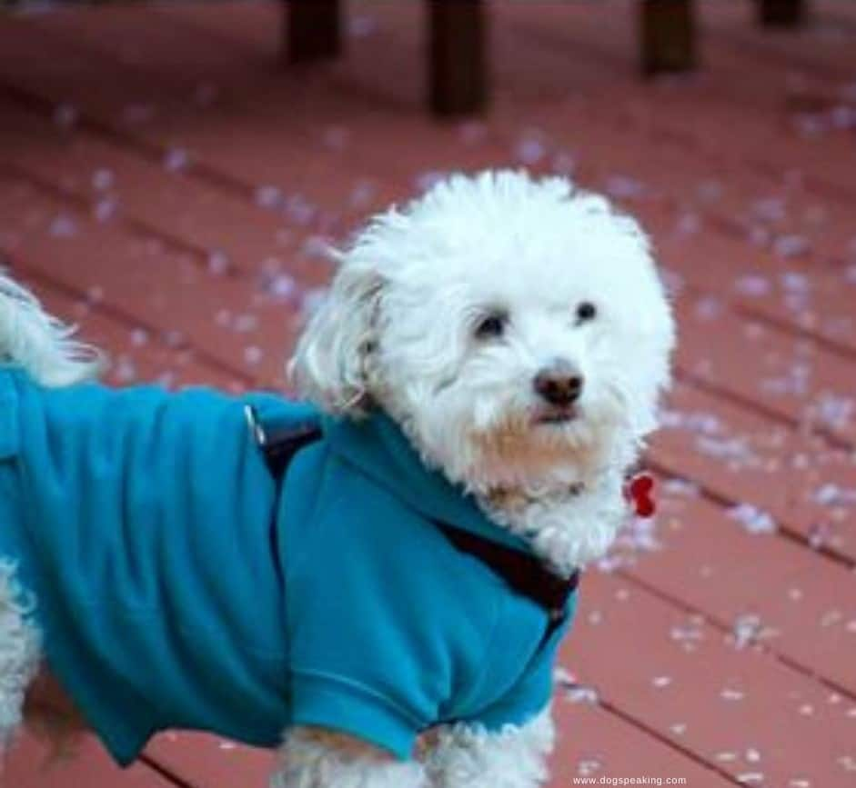 Dog Winter Coat and Dog jackets for winter - Little Malt with jacket on