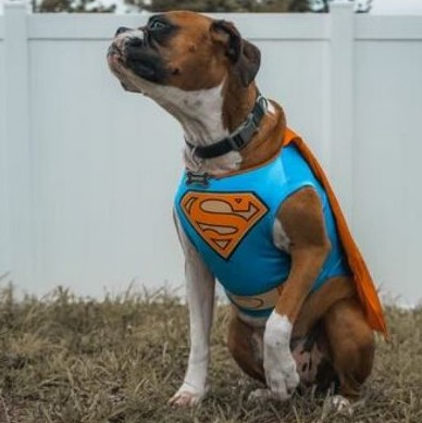 dog clothes - dog fancy dress, superman dog