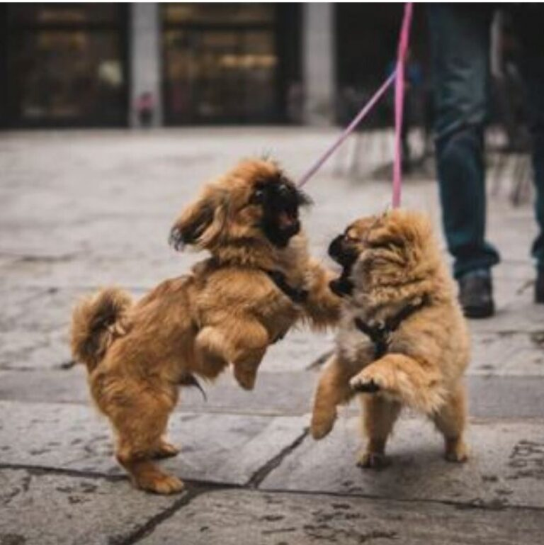 How often should you walk your dog? Two pups walking