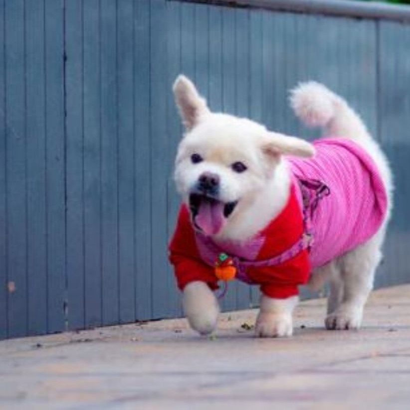 How often should you walk your dog? Benefits of dog walking. Little dog walking