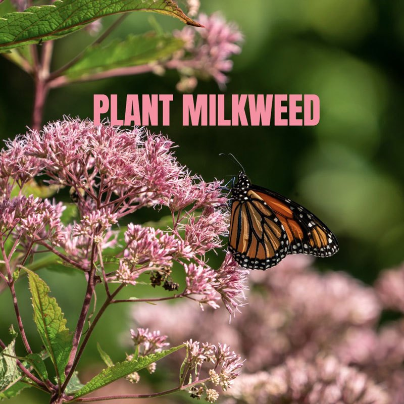 monarch-butterfly-on-milkweed-flower-picture-id1201660130