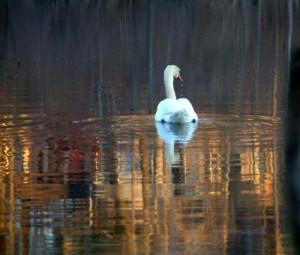 Swan_425