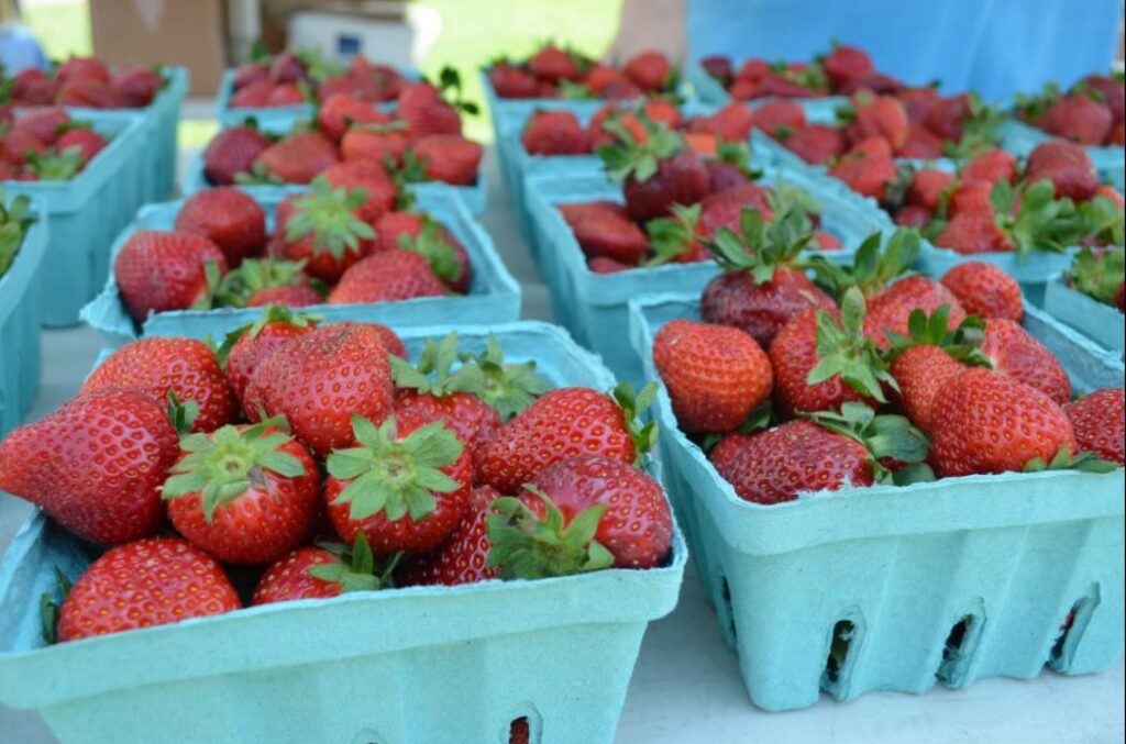 Pungo Strawberry Festival Road Closures – May 24-May 26