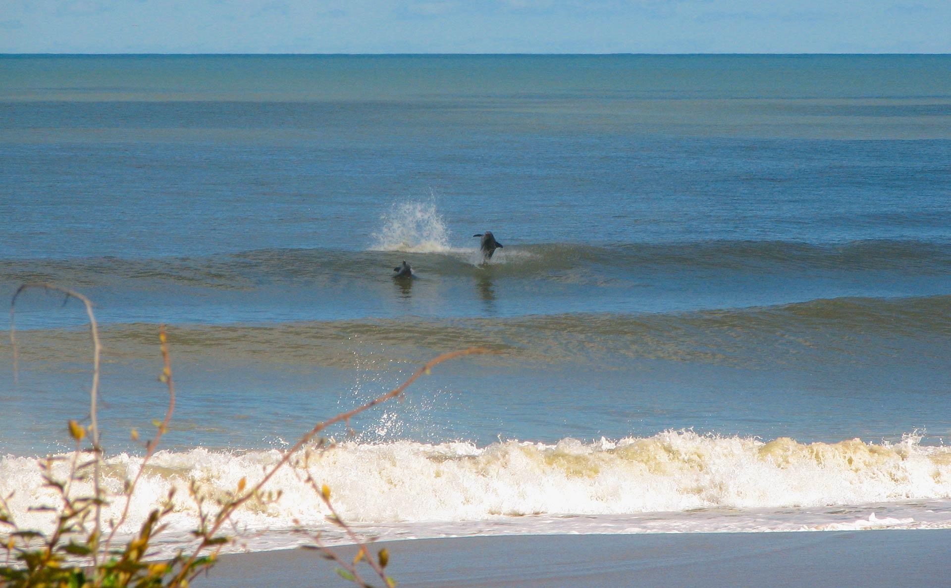 Dolphins in Sandbridge - Sandbridge Life