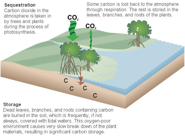 Mangrove Forest Carbon storage