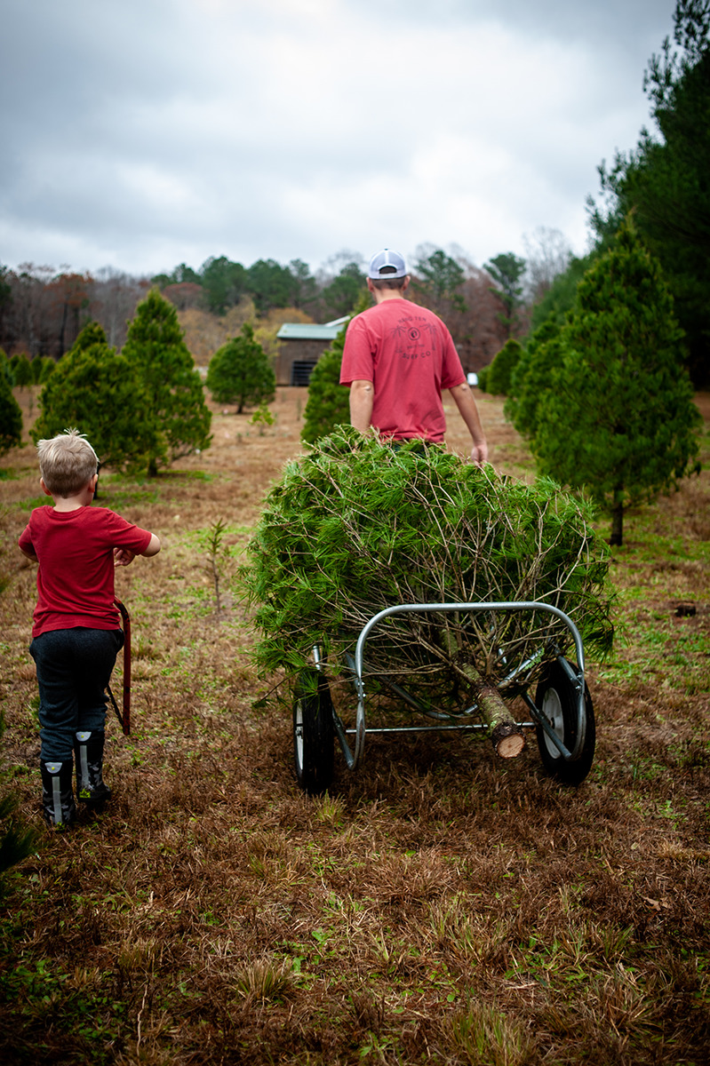 father and son pulling Christmas tree on cart