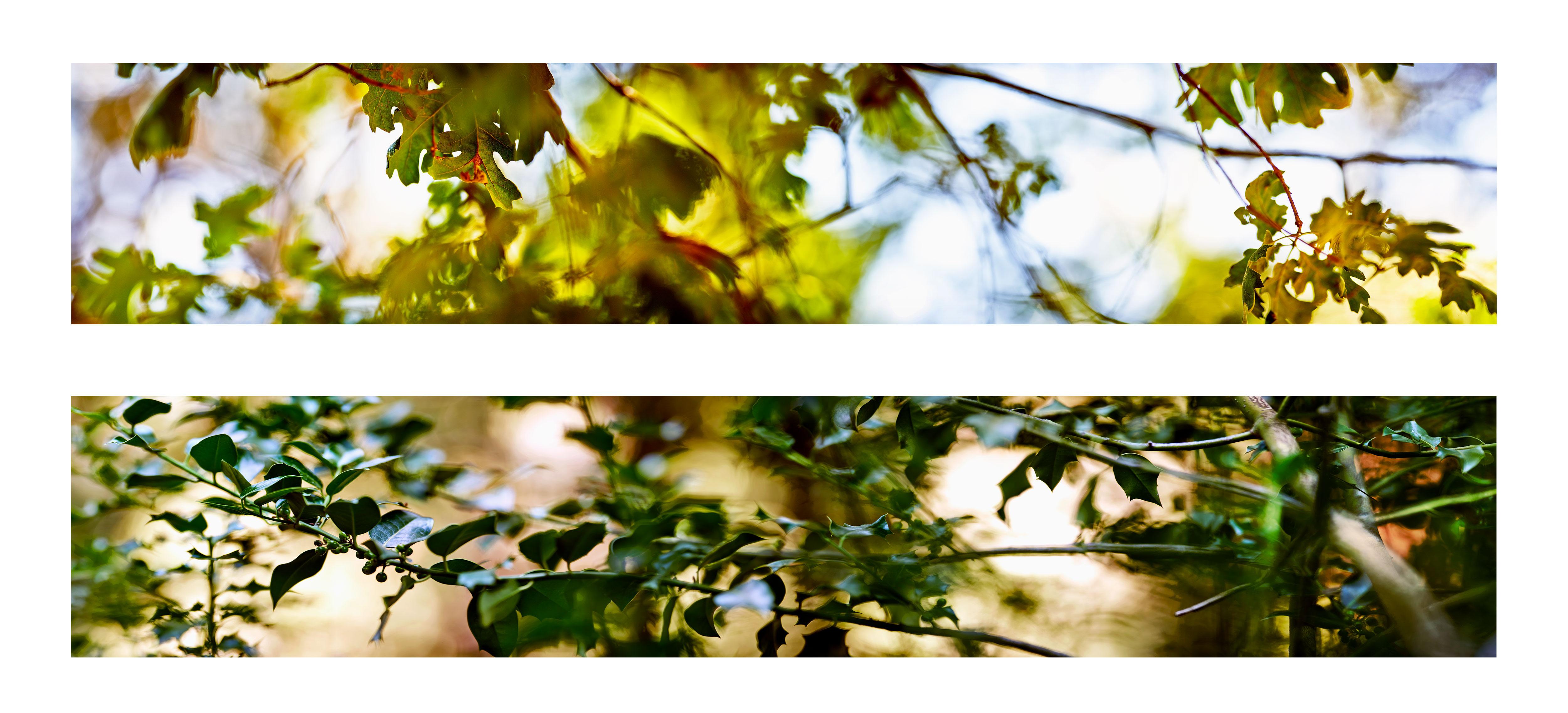 Ken Marchionno 2018 Crestline Oak and Crestline Holly / Archival ultrachrome print each 2' x 10'