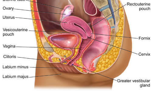 Protected: The Uterus and Partners – Beyond Basics A&P Who Am I?