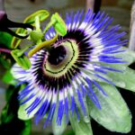 Passionflower 10X Extract Tablets Experience Report