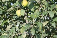 Honeygold Apples