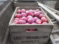 Maclintosh Apples
