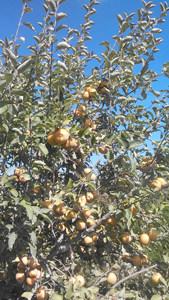 St. Edmond's Apples