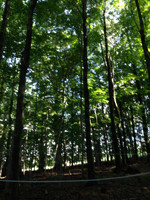 Management of the forest maple syrup