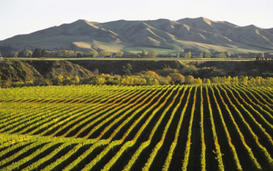 Dawson-PostHarvest---New-Zealand-Wine-Grapes