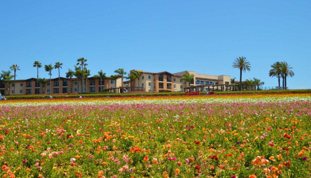 The Carlsbad Flower Fields   Everyday Mantras