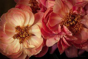 Peonies by Melissa Ann Bagley